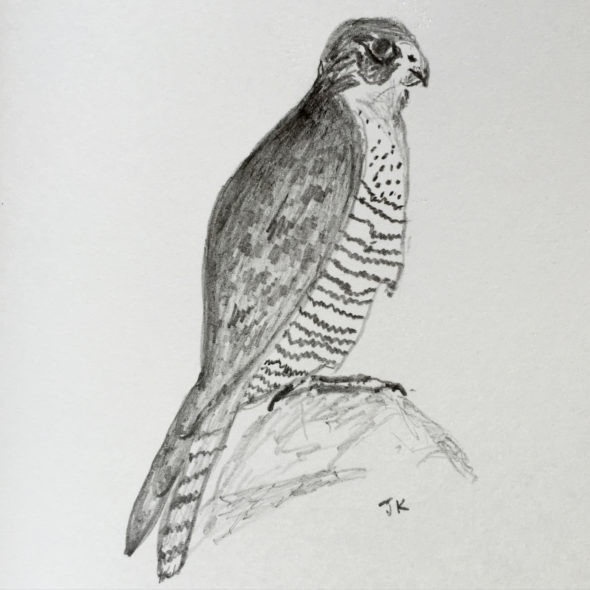 Peregrine Falcon in Pencil